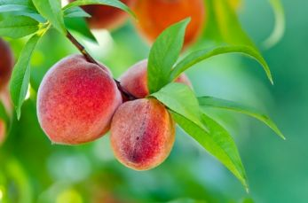 Garden plant of the moment: Peach tree