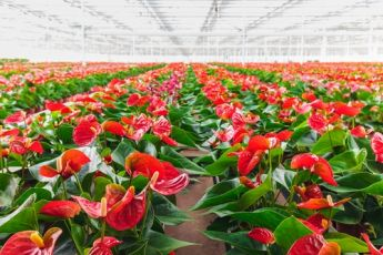 Plant of the Week: Anthurium