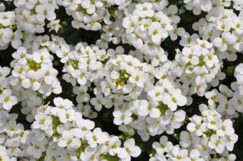 Rock cress surprises
