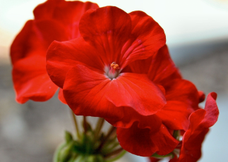 Cut back geraniums which have finished flowering