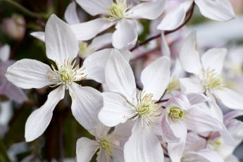 Garden plant of the moment: Clematis