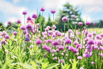 Plant a row of chives