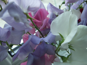 Sow sweet peas now for early flowers next year