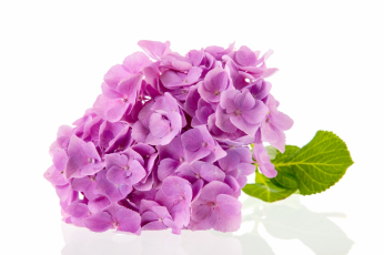 The plant of the month for August is the hydrangea