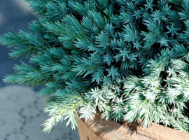 Conifers for small gardens
